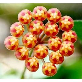 Hoya panchoi