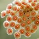 Hoya parviflora 15-20 cm
