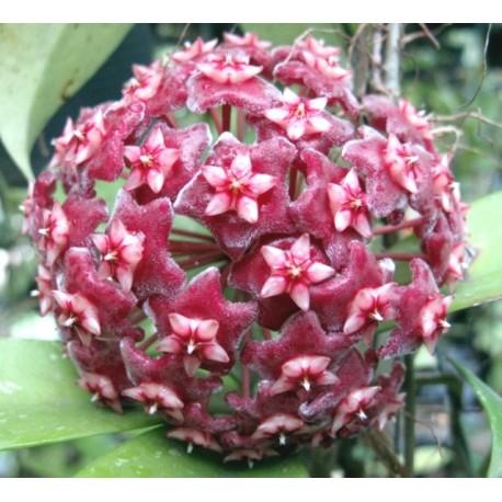 Hoya pubicalyx 30 cm