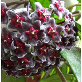 Hoya pubicalyx red button XL