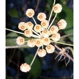 Hoya revoluta