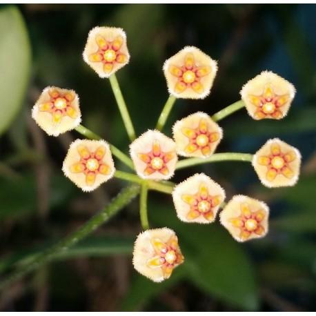 Hoya sulawesii
