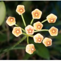 Hoya sulawesii 30 cm