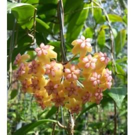 Hoya soligamiana green leaf XL