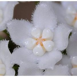 Hoya thomsonii 20 cm