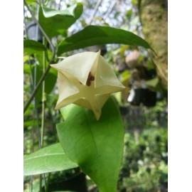 Hoya wallichii 5-10 cm