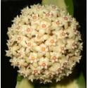 Hoya verticillata variegata 30 cm