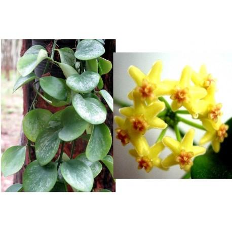 Hoya biakensis 30 cm