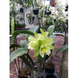 Rhyncholaeliocattleya Sung Ya Green 'Dragon King'