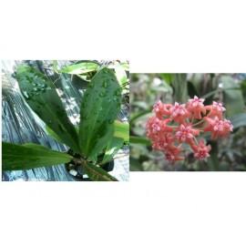 Hoya benvergarai 5 - 10 cm