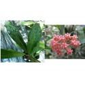 Hoya benvergarai 30 cm