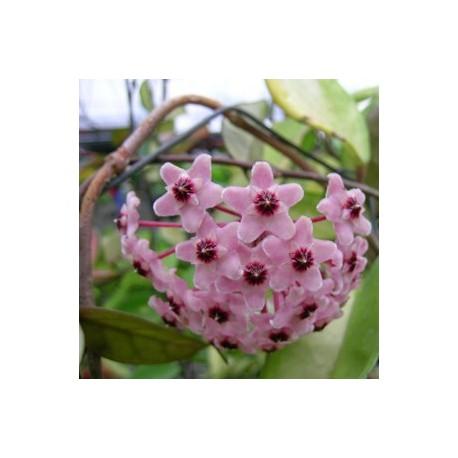 Hoya carnosa rosea