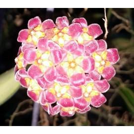 Hoya David Cumingii 30 cm