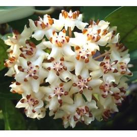 Hoya elliptica 5-10 cm