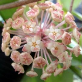 Hoya finlaysonii lalia 5-10 cm