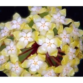 Hoya golden eye XL