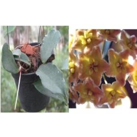 Hoya ischnopus 30 cm