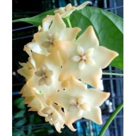 Hoya linusii 5-10 cm