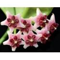 Hoya lobbii rose XL