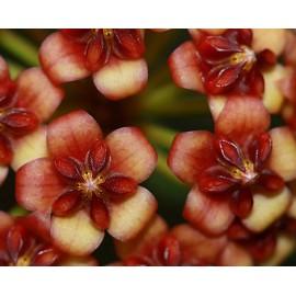 Hoya lucardenasiana 20 cm