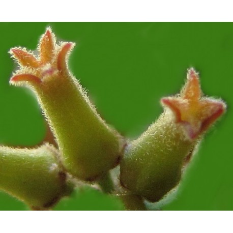 Hoya manipurensis 10-15 cm