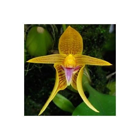 Bulbophyllum smithinandii
