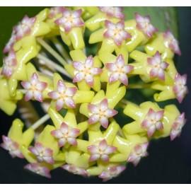 Hoya nelinae 5-10 cm