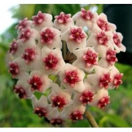Hoya obovata 5 feuilles