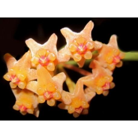 Hoya pandurata 30 cm