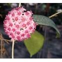 Hoya paulshirleyi 30 cm