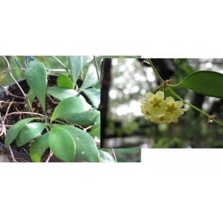 Hoya pubera 20 cm