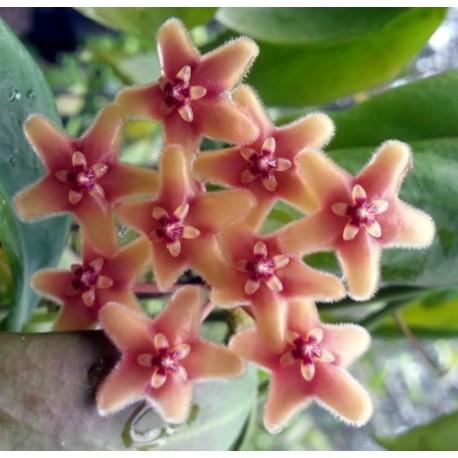 Hoya subcalva 30 cm