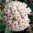 Hoya verticillata margin variegata 30 cm