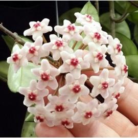 Hoya carnosa krinkle 30 cm