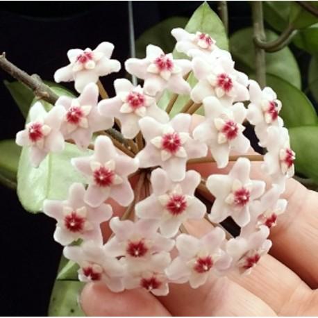 Hoya carnosa krimkle 30 cm