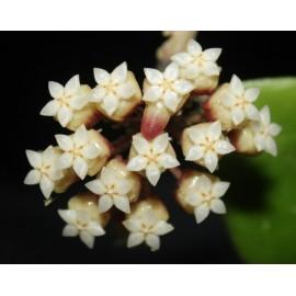 Hoya juannguoiana XL