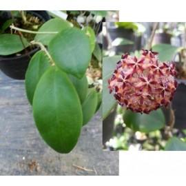 Hoya mindorensis pg12 30 cm
