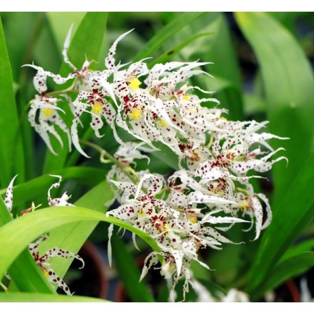 Oncidium chrysomorphum