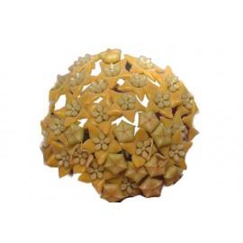 Hoya chewiorum 30 cm