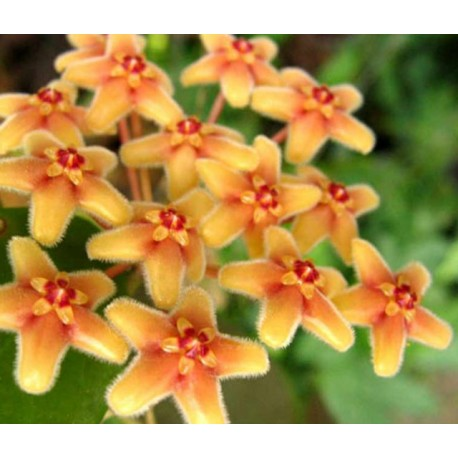 Hoya flavida orange 30 cm