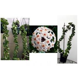 Hoya carnosa compacta XL