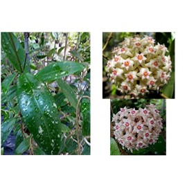 Hoya bangpla 3 spotted leaves