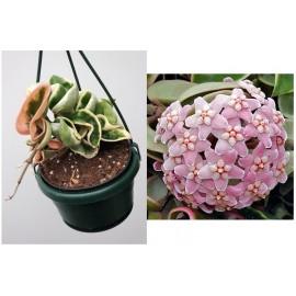 Hoya carnosa compacta variegata india rope