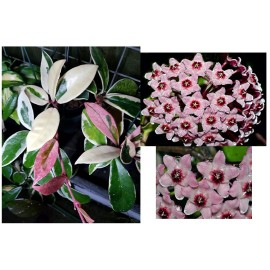 Hoya carnosa krimson queen pink and white leaves