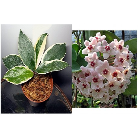 Hoya carnosa snow ball margin variegata
