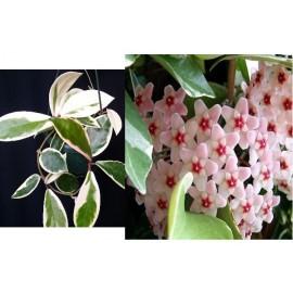 Hoya carnosa margin variegata lakyim