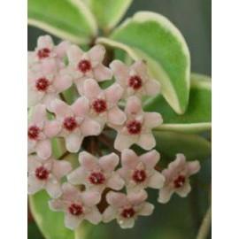 Hoya carnosa variegata 3