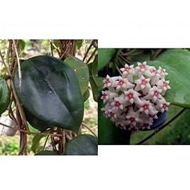 Hoya dolichosparte pink