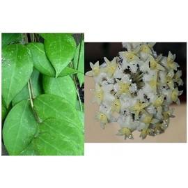Hoya erythrostemma white