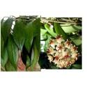 Hoya erythrostemma white new
